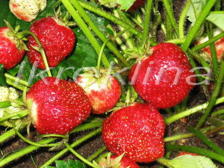 сорта земляники садовой для сибири